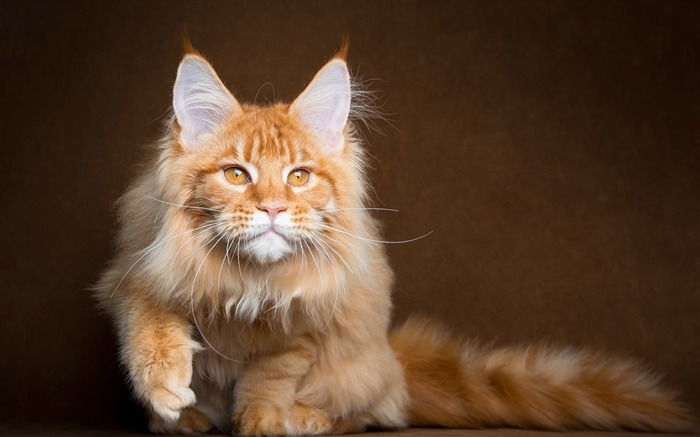 maine coon cat-Photography HD Wallpaper Views:1256