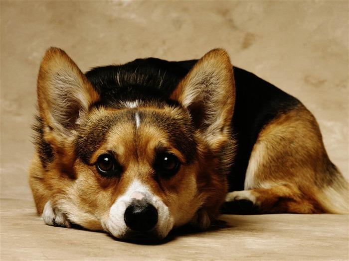 可爱的宠物柯基犬摄影高清壁纸