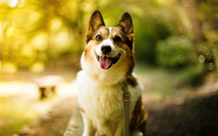 Cute Pet Dogs Corgi Photography HD Wallpaper Views:8147