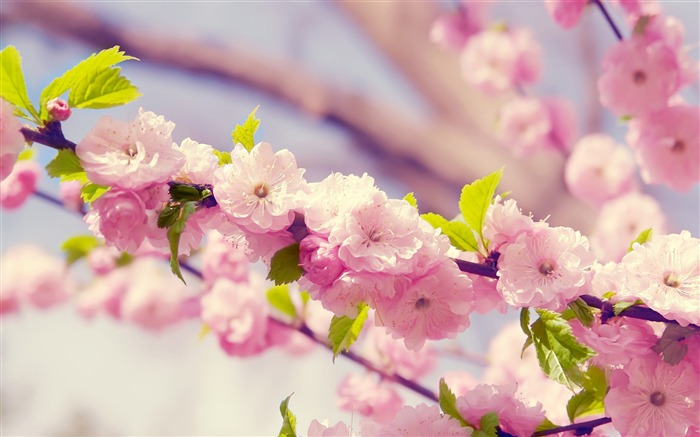 Spring beautiful Sakura photography HD Wallpaper Views:7929