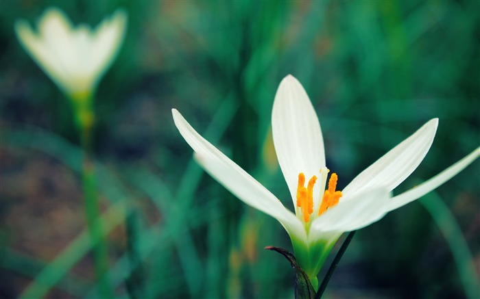 White Crocus Flower-Photo HD Wallpapers Views:2166