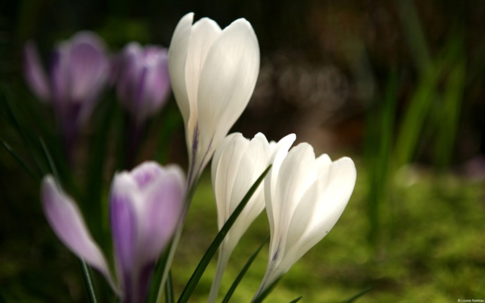 White and Purple Crocuses-Windows 10 HD Wallpaper Views:3328