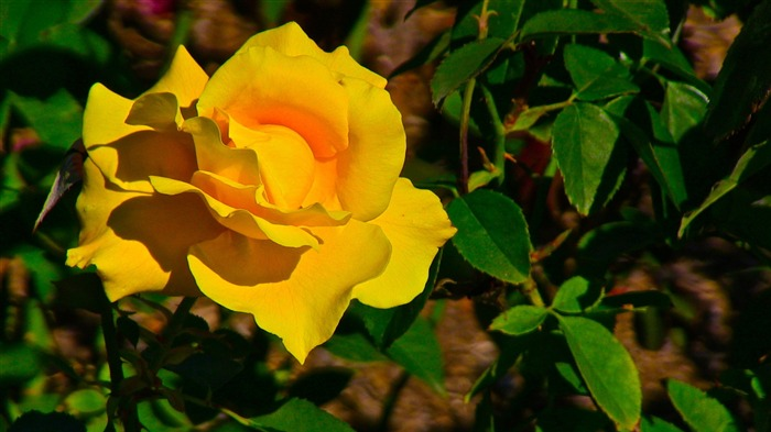 Yellow Rose Flower-Photo HD Wallpapers Views:1164