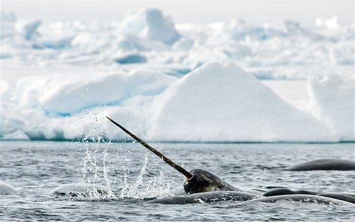 Narwhal Whale-Animal HD Wallpaper Views:3209