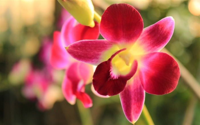 Orchids Pink Flower-High Quality HD Wallpaper Views:1795
