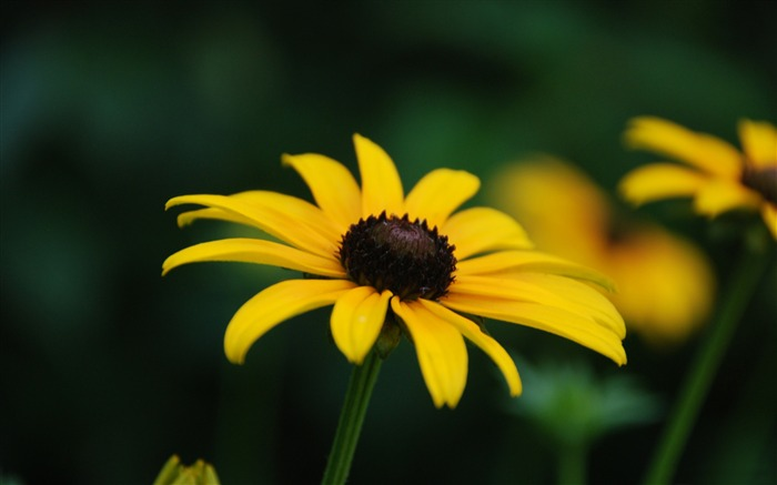 black eyed susan bloom stage-Photography HD wallpaper Views:2556