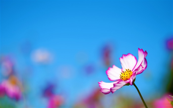 pink cosmos flower-Photography HD wallpaper Views:2913