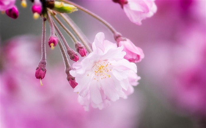 spring in japan-Photography HD wallpaper Views:3009