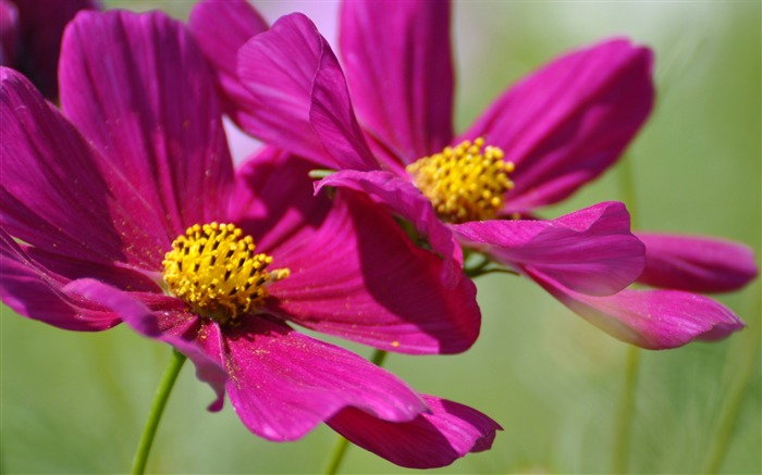 two cosmos flowers-Photography HD wallpaper Views:1694