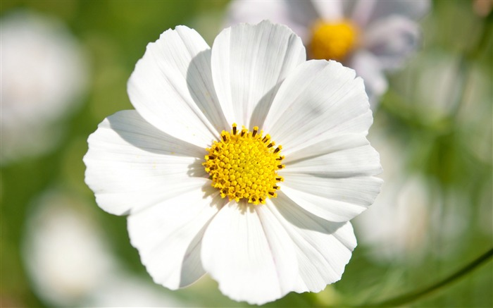 white cosmos flowers-Photography HD wallpaper Views:1490