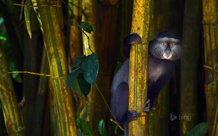 Bamboo baboon-2015 Bing theme wallpaper Views:2546