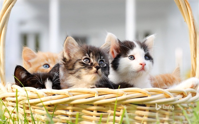 Basket of cats-2015 Bing theme wallpaper Views:1343