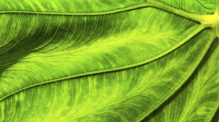 Close-up of green leaves meridians-Windows 10 HD Wallpaper Views:3911
