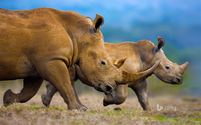 Huge rhino-2015 Bing theme wallpaper Views:2452