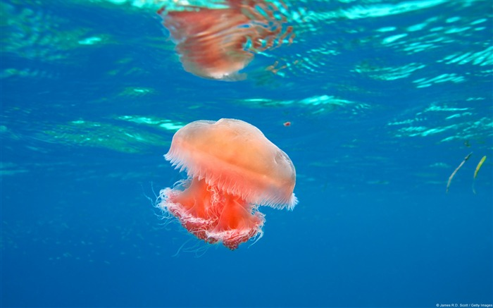 Jellyfish off Dimakya Island-Windows 10 Wallpaper Views:4317
