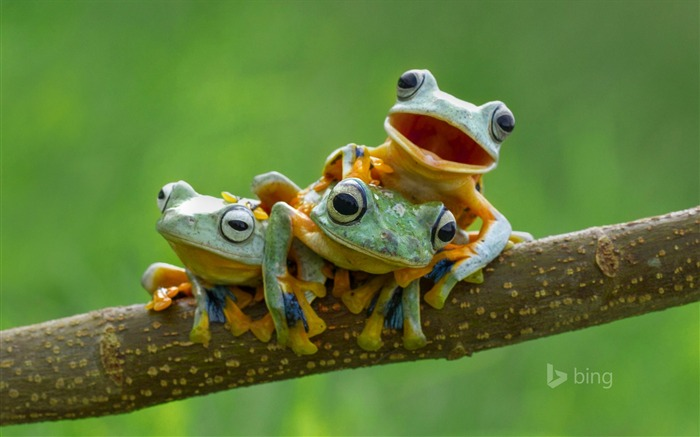 Three tree frogs on tree branch-2015 Bing theme wallpaper Views:1574