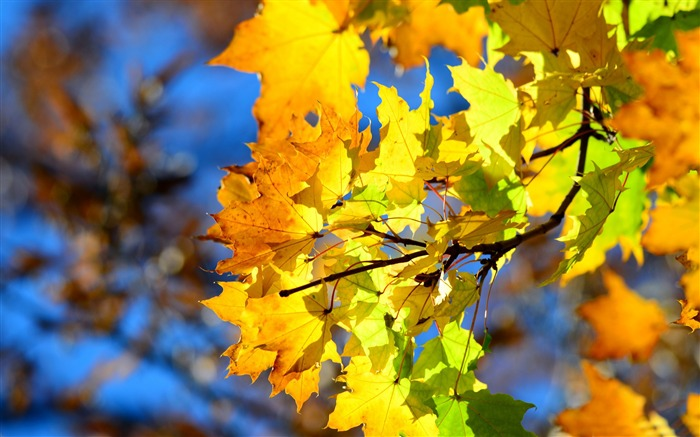 autumn yellow leaves-High Quality HD Wallpaper Views:1777