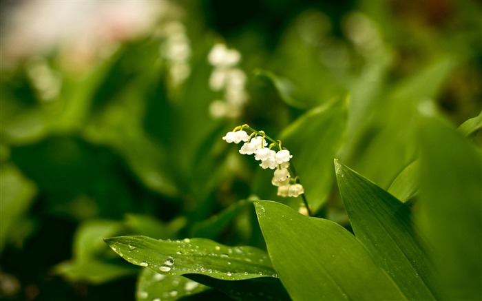 lily of the valley-Plants HD wallpaper Views:2063