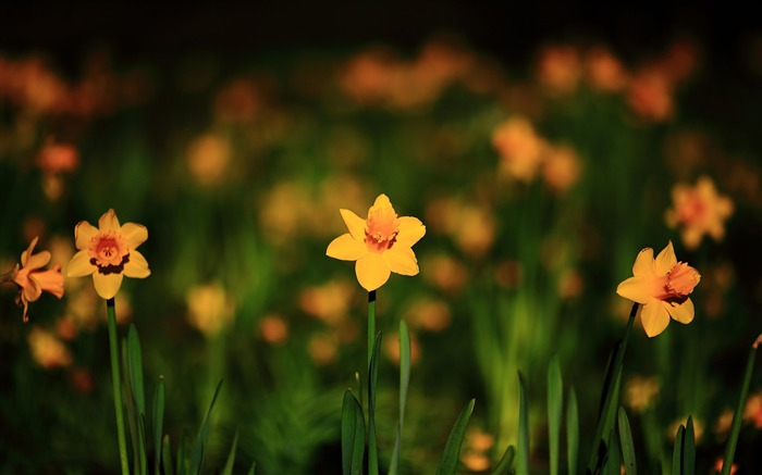 narcissus yellow flowers spring-High quality wallpaper Views:2379