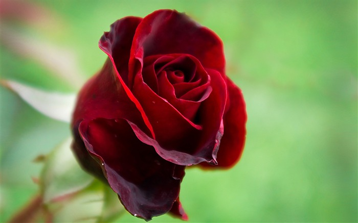 Beautiful red rose-Photo HD Wallpaper Views:2312