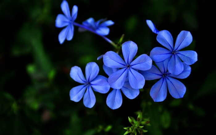 Blue Flower-Photo HD Wallpaper Views:2468