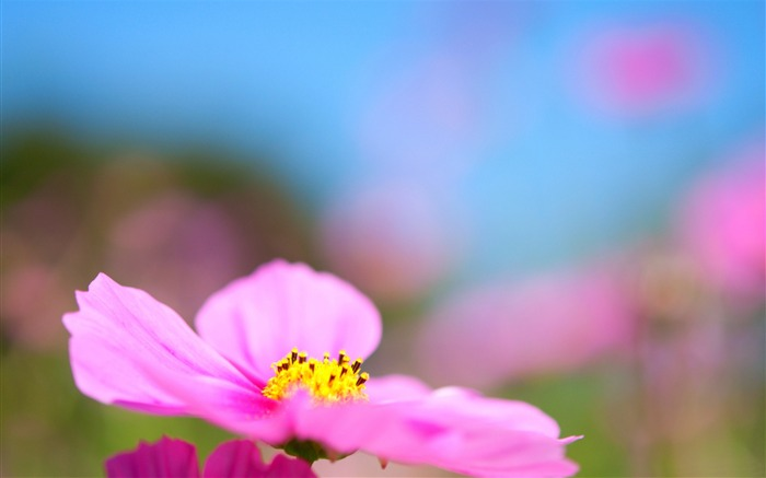 Cosmos Pink Flower-Photo HD Wallpaper Views:2234