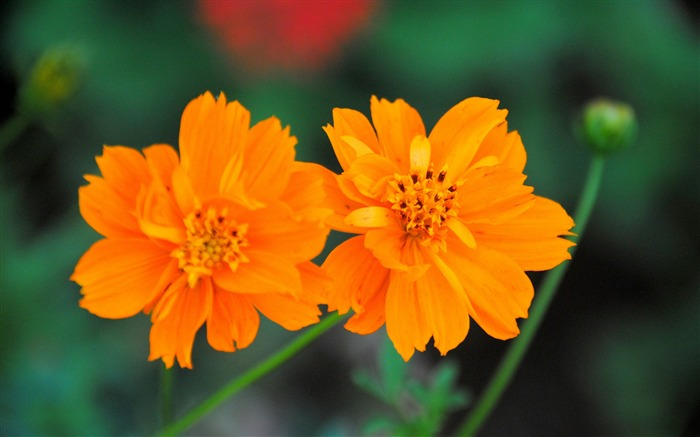 Cosmos Sulphureus Flower-Photo HD Wallpaper Views:2261