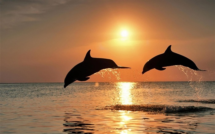 Dolphins jump sunset-Animal HD Wallpaper Views:1716