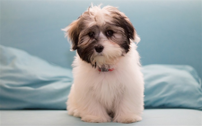 Havanese Dog Furry-Photography HD wallpaper Views:2283