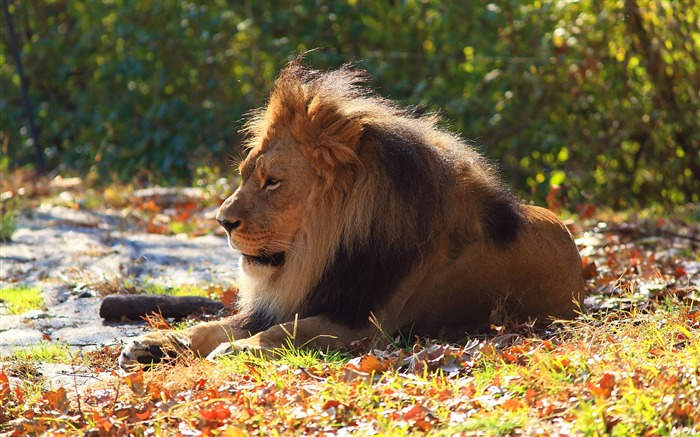 Lion Predator Autumn Foliage-Photography HD wallpaper Views:4585