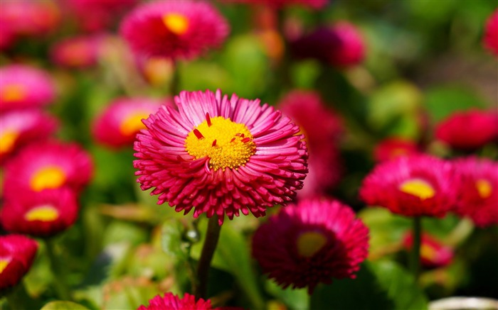 Pink daisies-High Quality Wallpaper Views:3176