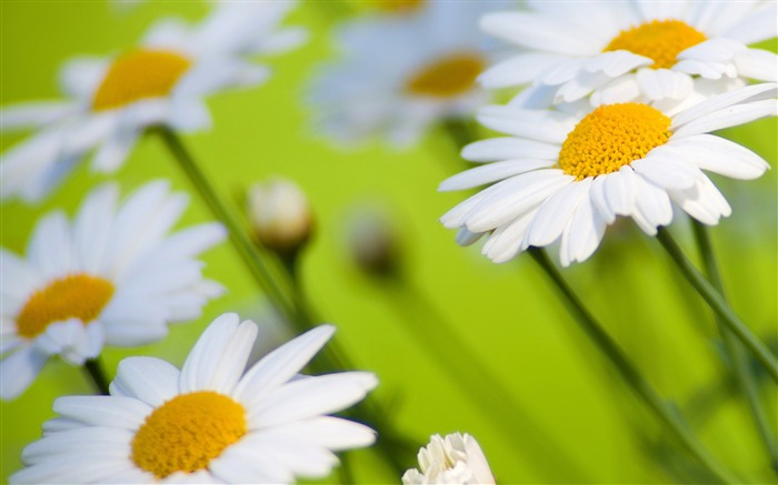 White Daisies Flower-Photo HD Wallpaper Views:2364