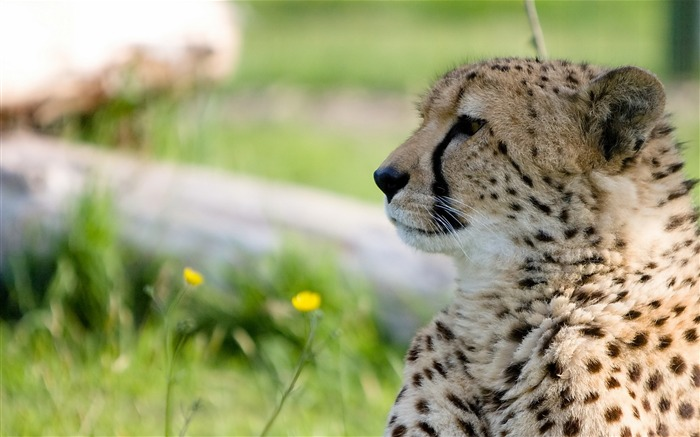 cheetah predator big cat-Photography HD wallpaper Views:2096