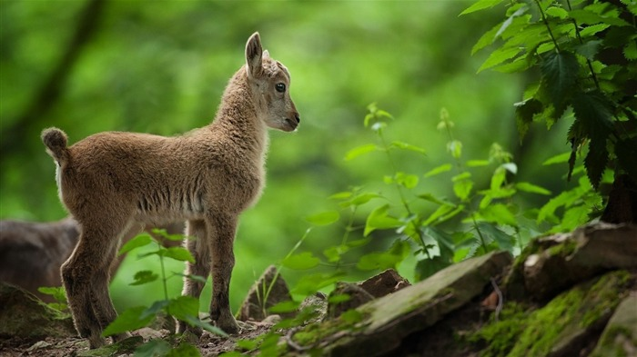 goat cub grass-Photography HD wallpaper Views:1752