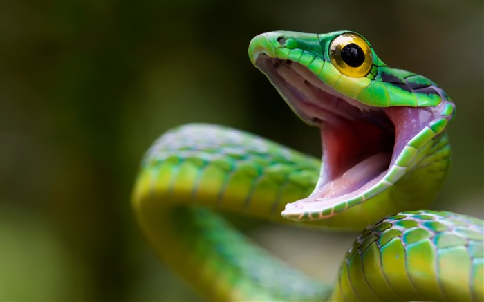 green snake costa rica-Photography HD wallpaper Views:1541