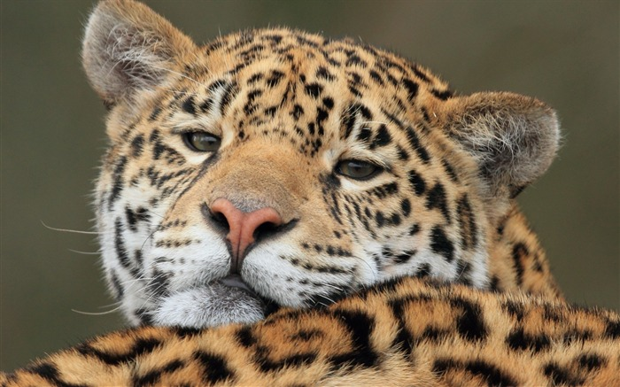jaguar predator-Photography HD wallpaper Views:2539