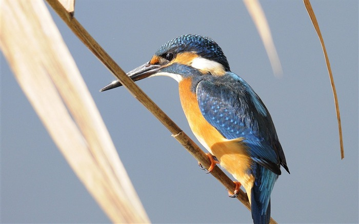 kingfisher bird branch-Photography HD wallpaper Views:1912