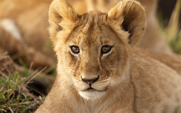 lion cub predator-Photography HD wallpaper Views:2320