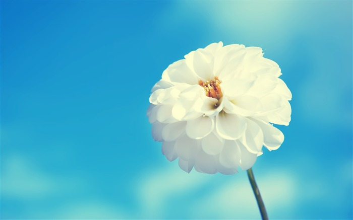 white flower blue sky-Photo HD Wallpaper Views:1330