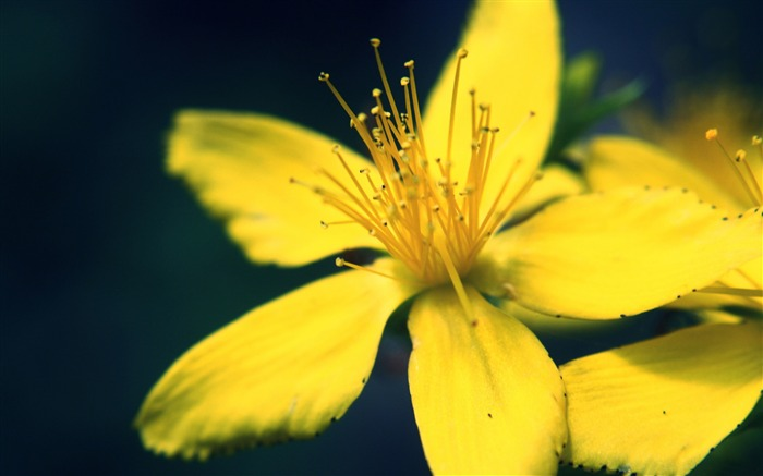 yellow flower macro-Photo HD Wallpaper Views:1068