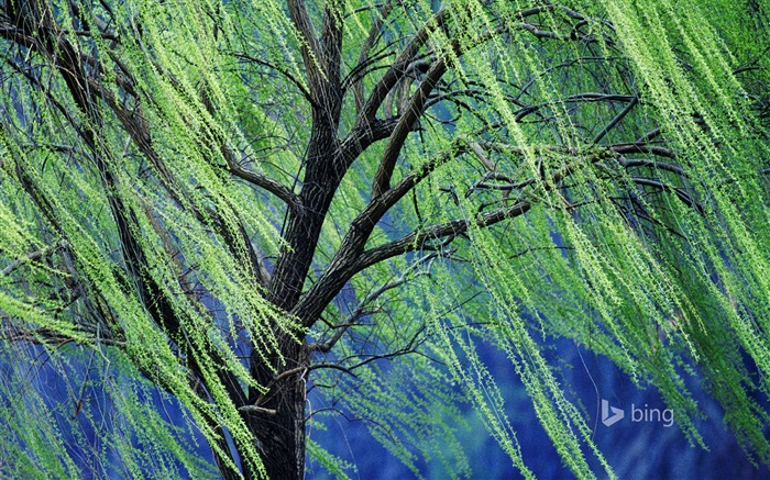 A weeping willow tree-October 2015 Bing Wallpaper Views:1751