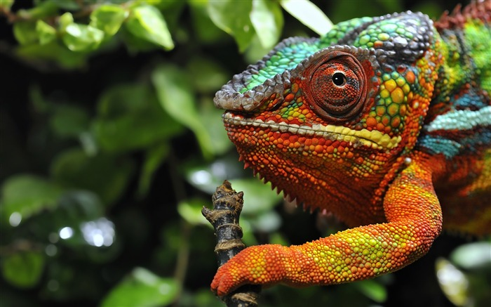 Title:Chameleon eyes grassland-Photo HD Wallpaper Views:1804
