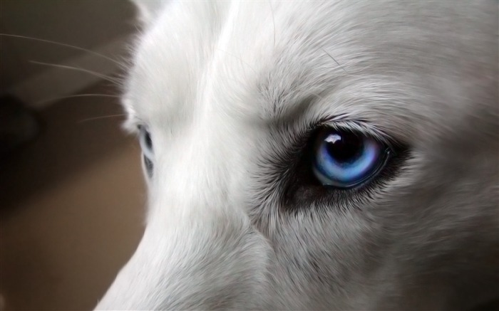 Dogs blue eyes-Photo HD Wallpaper Views:2190