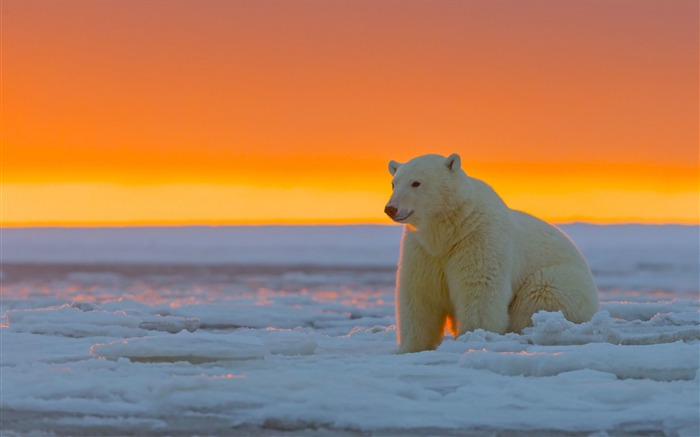 Polar bear alaska snow-Photo HD Wallpaper Views:2183