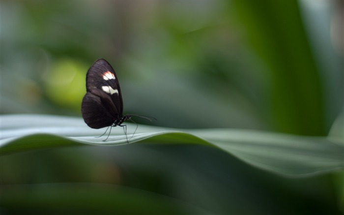 Postman butterfly-Photo HD Wallpaper Views:2254