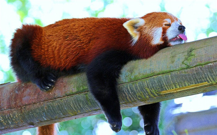 Red panda branch rest-Photo HD Wallpaper Views:2181