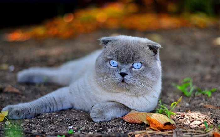 Scottish cat nature-Photo HD Wallpaper Views:2227