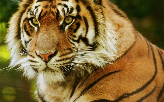 Tiger face predator eyes-Photo HD Wallpaper Views:1925