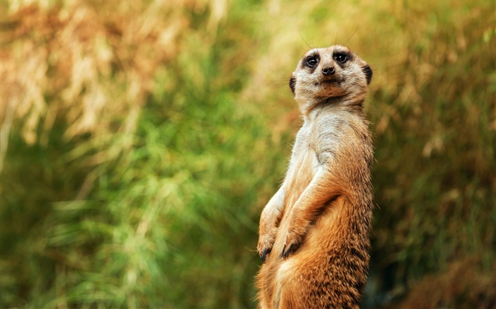 meerkat funny sitting-Photo HD Wallpaper Views:2306