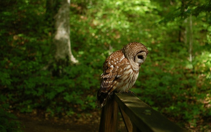 owl bird predator forest-Photo HD Wallpaper Views:2372